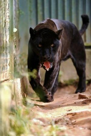 A captive melanistic jaguar, pictured in an enclosure at Preto Velho Farm, on January 11, 2013