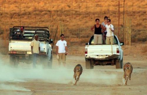A cheetah run on March 21, 2013 at a private game reserve in Inverdoorn, north of Cape Town