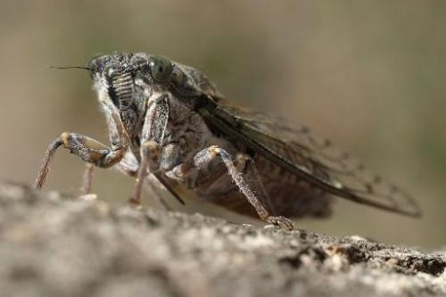 A cicada is pictured on a tree on July 28, 2013 in Marseille, France