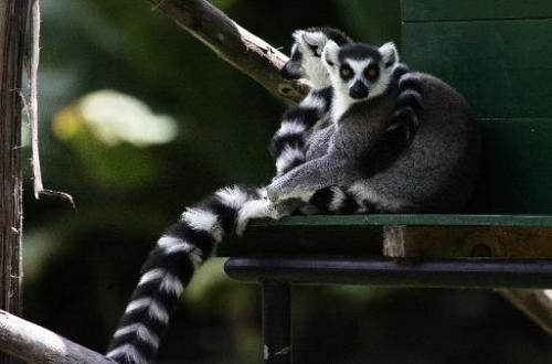 A couple of lemurs rest in the shade at a public park in Antananarivo, Madagascar, on November 30, 2006