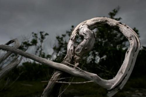A dead buttonwood tree is seen amid mangroves in Big Pine Key, Florida, after the buttonwood succumbed to salt water incursion,
