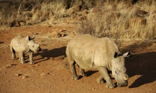 A dehorned black rhinoceros and a calf on August 3, 2012 at the Bona Bona Game Reseve, southeast of Johannesburg