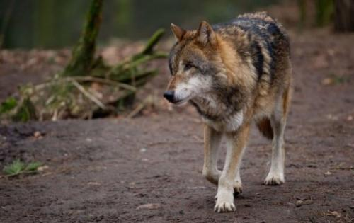 A European wolf is seen in its enclosure at the Schwarze Berge wildlife park in Hamburg, Germany, on February 28, 2013