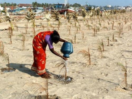 A female Indian labourer pours water on a sapling as she tends to trees in Nagapattinam, on January 23, 2005
