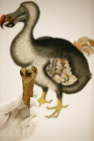 A fragment of a femur bone from the extinct dodo is held up in London on March 27, 2013
