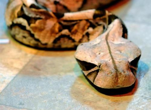 A gaboon viper is seen in captivity on January 17, 2010 in Las Vegas, Nevada