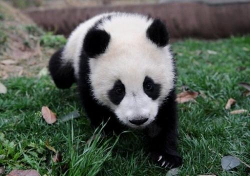 A giant panda cub at a conservation centre in Chengdu, southwest China's Sichuan province, on March 25, 2011