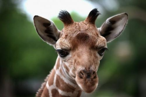 A giraffe calf roams the enclosure at Brookfield Zoo on July 2, 2013 in Brookfield, Illinois