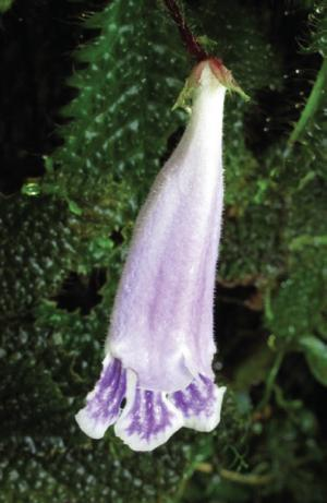 A Malaysian beauty: Newly described endemic herb species under threat of extinction