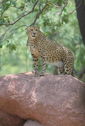 A male African cheetah named Dark at the Nehru Zoological Park in Hyderabad, India on May 12, 2012