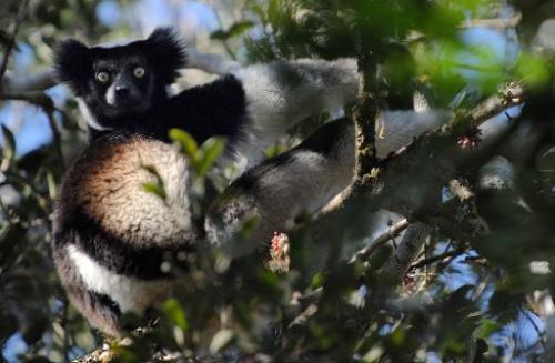 A male Indri Indri Lemur sits in a tree as he feeds on leaves, at a nature reserve in Andasibe, Madagascar, on September 17, 200