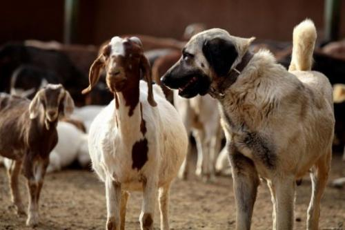 An Anatolian Shepherd dog guards a herd of goats at the Cheetah Conservation Fund  center in Otjiwarongo, Namibia