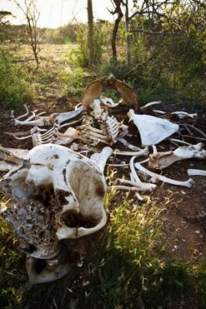 An elephant skeleton minus its tusks is pictured in Kora National Park, Kenya on January 29, 2013