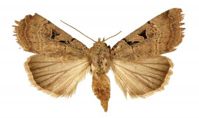 A new Anagnorisma moth species from the beautiful Binaloud Mountain Iran