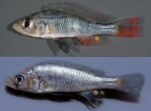 A new fish species from Lake Victoria named in honor of the author of Darwin's Dreampond