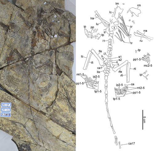 A new Haramiyid indicating a complex pattern of evolution in Mesozoic mammals
