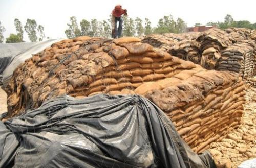 An Indian labourer covers rotting wheat at Khamano village 40 kilometres from Ludhiana on May 19, 2012