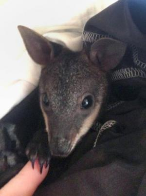 An injured swamp wallaby receives treatment after being saved by animal rescue group WIRES, in an undated handout photo received