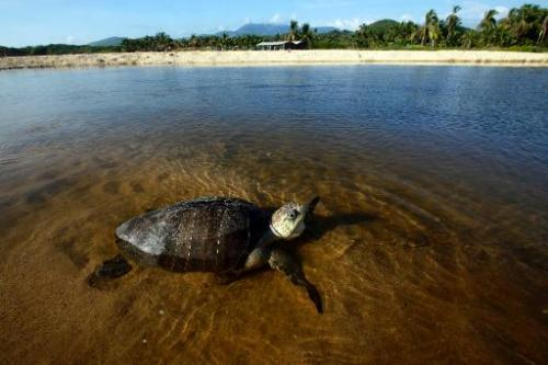 An Olive Ridley sea turtle (Lepidochelys olivacea) swims at Ixtapilla beach, in Aquila municipality on the Pacific coast of Mich