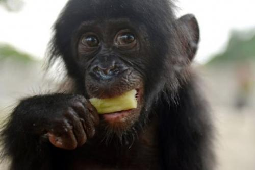 "An orphaned bonobo eats sugar cane on March 5, 2013 after being rescued by staff of the ""Lola ya bonobo"""