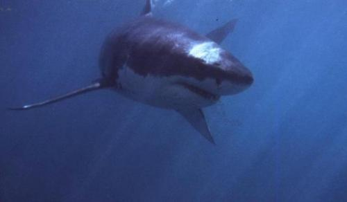 An undated photograph of a shark swimming off Gansbaai, about 180 kms from Cape Town