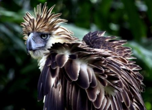 A Philippine Eagle (Pithecopaga jefferyi) is shown at the Philippine Eagle Center, Davao City, in 2011
