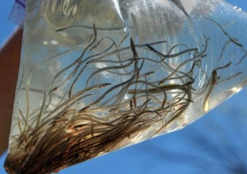 A plastic bag of glass eels that were caught in the Quassaick Creek May 1, 2013 in Newburgh, New York