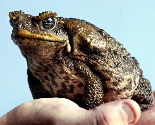 A poisonous cane toad sits on a keeper's hand at the Taronga Zoo in Sydney on April 26, 2005