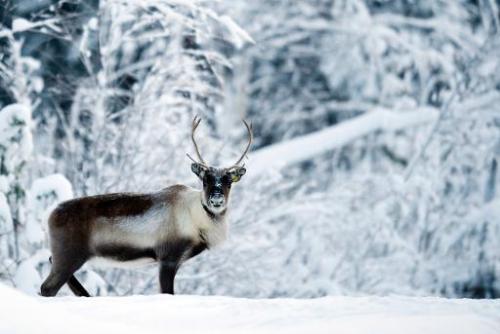 A reindeer near the Swedish village of Vuollerim, Lapland province, west of the coastal city of Luleaa