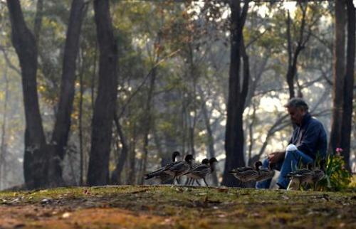 A resident sits outside his house following a nearby bush fire as ducks make to a safer place near Faulconbridge in the Blue Mou