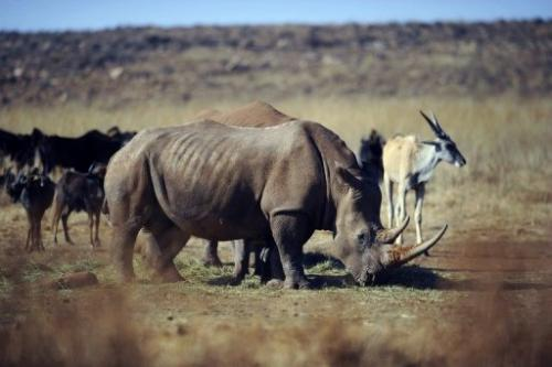 A rhinoceros grazes grazing in a private reserve in Krugersdorp, north of Johannesburg, on July 21, 2010