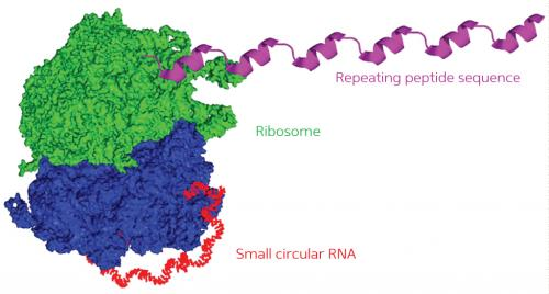A roundabout route to protein production