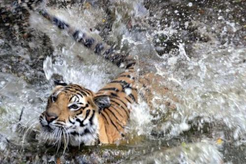 A Royal Bengal tiger splashes into a pond at the Nehru Zoological Park in Hyderabad, India on April 23, 2010