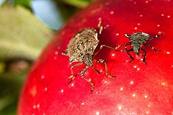 ARS scientists test improved stink bug trapping methods