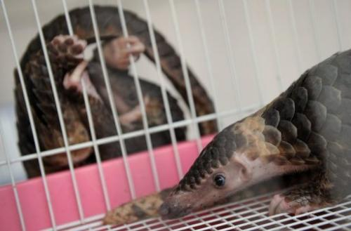 A seized pangolin rests in a cage at the customs department in Bangkok on September 26, 2011