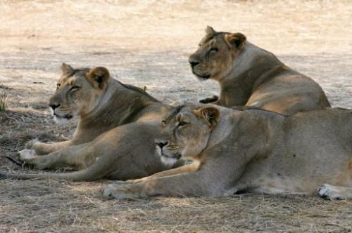 Asiatic lions lounge near the village of Sasan on the edge of Gir National Park in India on 10 December 2007