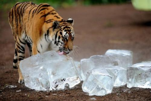 A Siberian tiger licks an ice cube to cool off in Guaipo Siberian Tiger Park on August 12, 2013