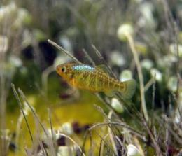 A snapshot of pupfish evolution in action