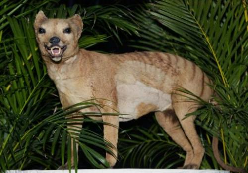 A stuffed Tasmanian tiger is displayed in Melbourne on May 25, 2002