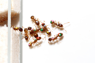 ASU scientists discover that ants, like humans, can change their priorities