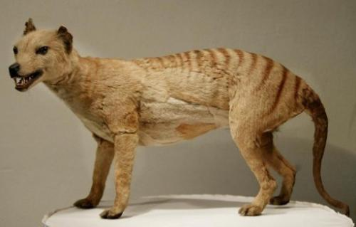 A Tasmanian tiger is displayed at the Australian Museum in Sydney, 25 May 2002