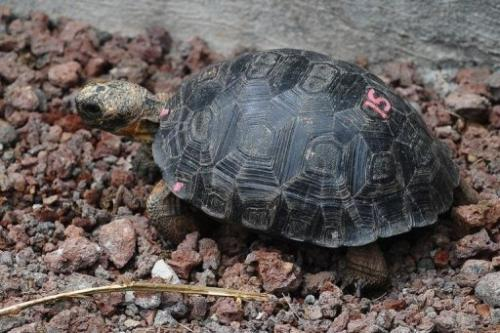 A tortoise with genes of the Floreana Island giant tortoise species is pictured in in Santa Cruz Island on June 4, 2013