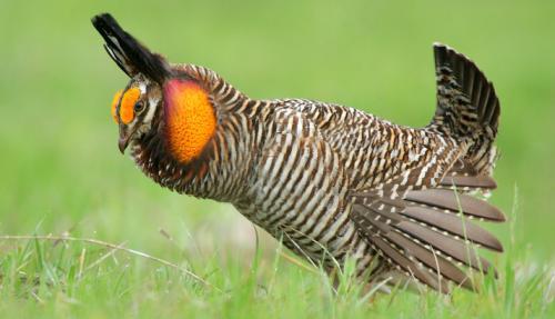 Attwaters Prairie-Chicken