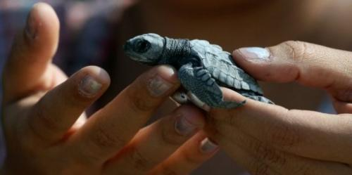 A volunteer holds an olive ridley sea turtle hatchling on December 9, 2012
