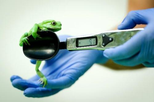 A Waxy Monkey Frog on a weighing scale, London Zoo on August 21, 2013