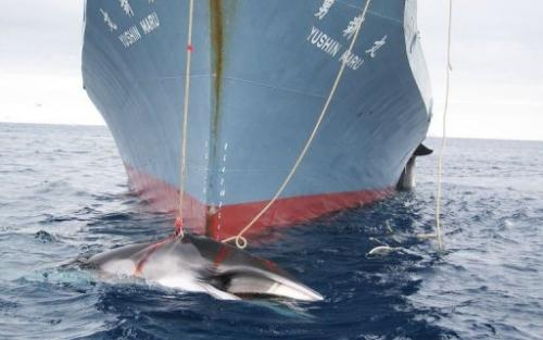A whale is dragged on board a Japanese ship after being harpooned in Antarctic waters