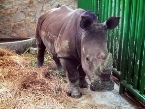 A white rhinoceros is seen at the Saigon Zoological and Botanical Garden in Ho Chi Minh City, on December 6, 2007