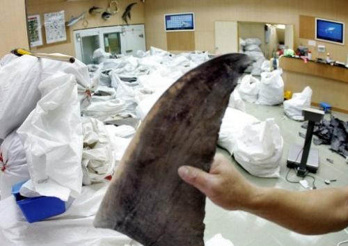 A wholesale shop keeper displays shark fins in Hong Kong, 17 August 2006