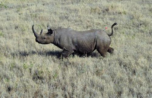 A wild male black rhino named Sambu after it was darted from a helicopter in the Lewa Wildlife Conservancy in Kenya on August 28