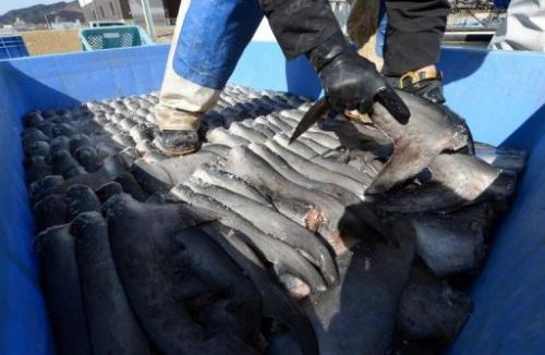 A worker packs shark fins with salt at a  factory in Kesennuma, Japan, on March 12, 2013